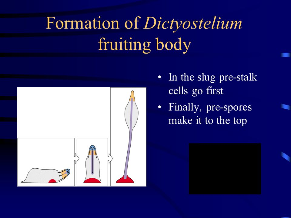 Formation of Dictyostelium fruiting body In the slug pre-stalk cells go first Finally, pre-spores make it to the top