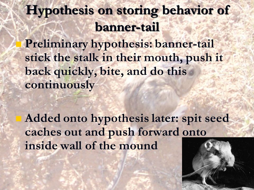 Hypothesis on storing behavior of banner-tail Preliminary hypothesis: banner-tail stick the stalk in their mouth, push it back quickly, bite, and do t
