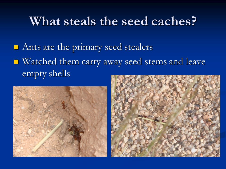 What steals the seed caches.