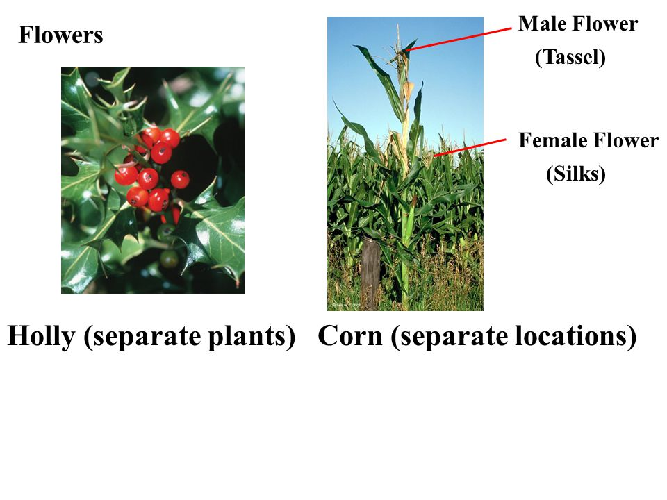 Flowers Holly (separate plants) Corn (separate locations) Male Flower (Tassel) Female Flower (Silks)