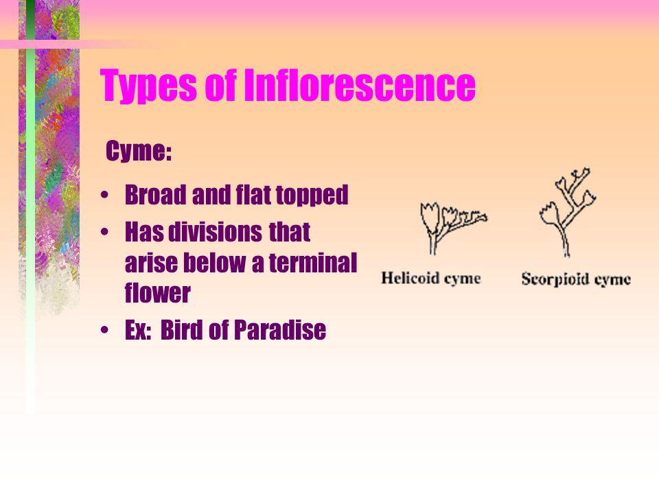 Types of Inflorescence Broad and flat topped Has divisions that arise below a terminal flower Ex: Bird of Paradise Cyme: