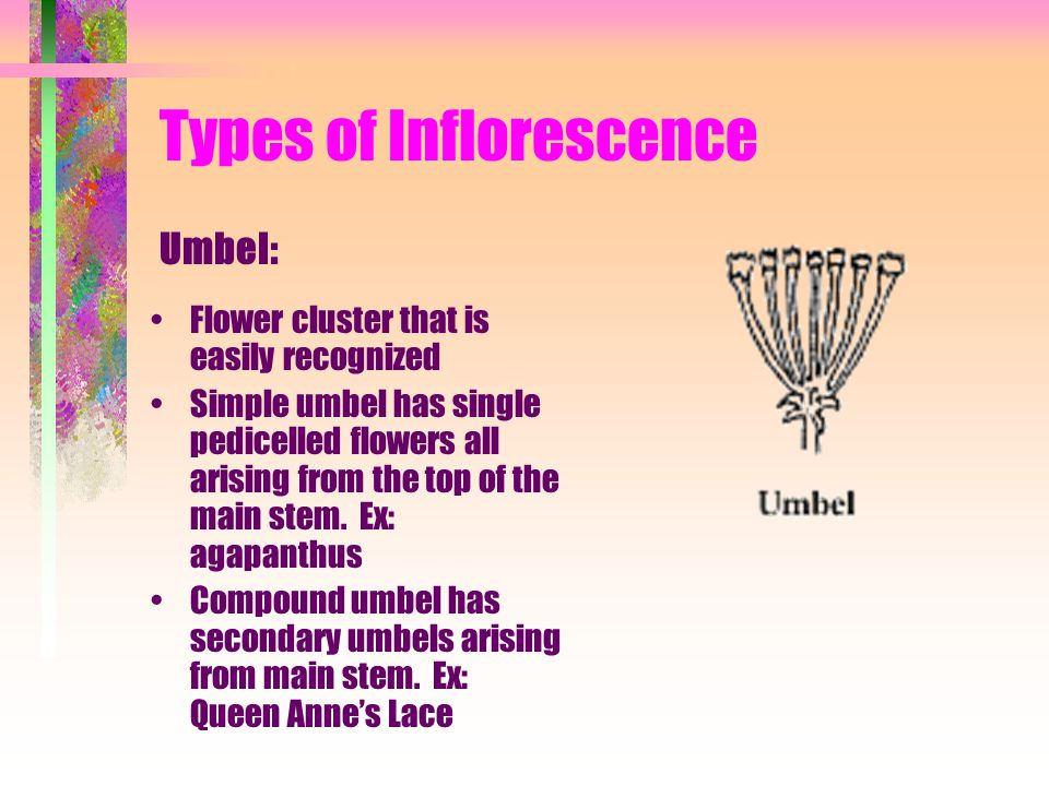 Types of Inflorescence Flower cluster that is easily recognized Simple umbel has single pedicelled flowers all arising from the top of the main stem.