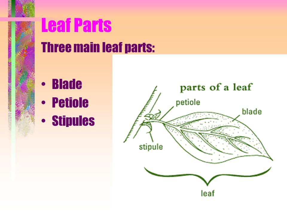 Leaf Parts Three main leaf parts: Blade Petiole Stipules