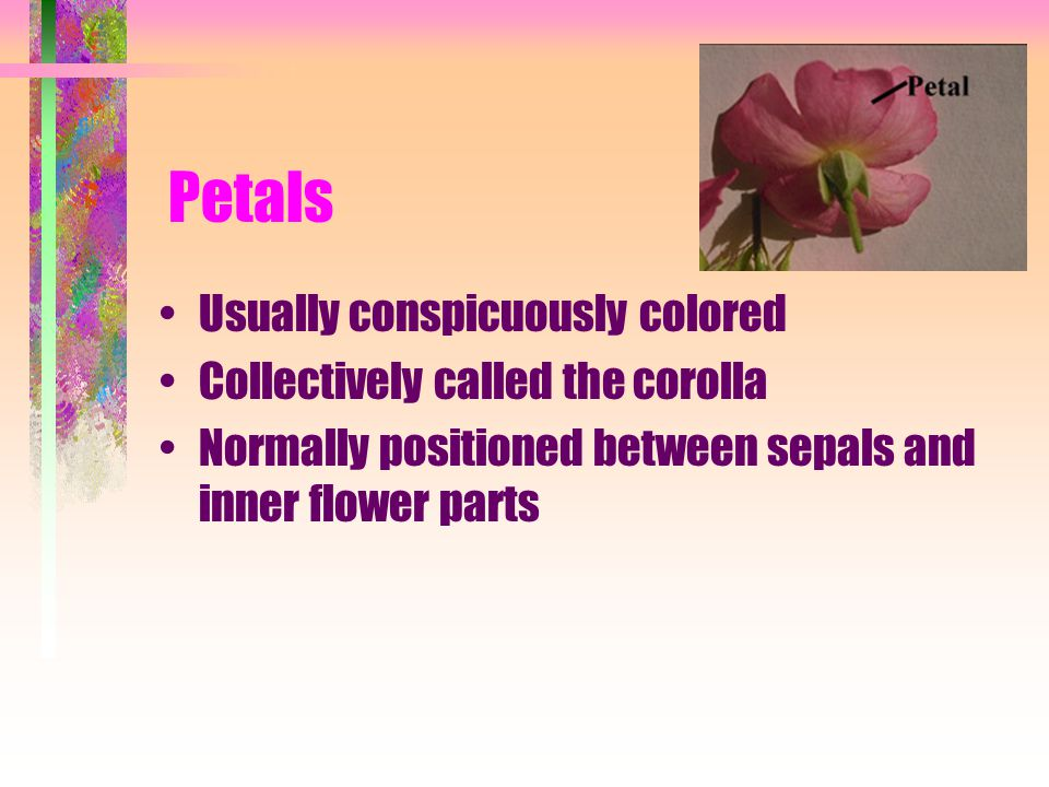 Petals Usually conspicuously colored Collectively called the corolla Normally positioned between sepals and inner flower parts
