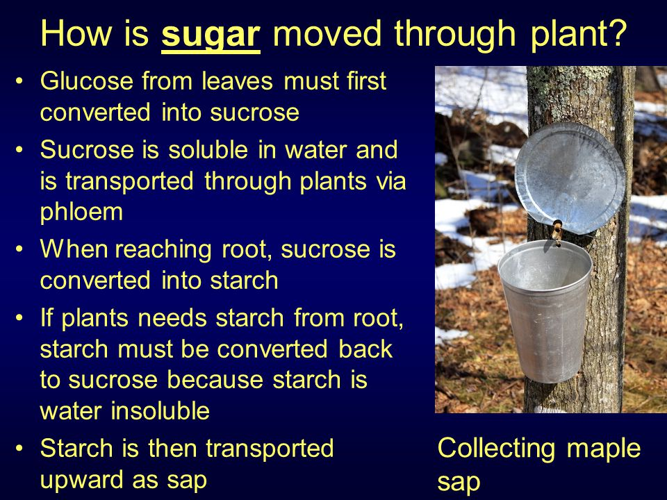 How is sugar moved through plant? Glucose from leaves must first converted into sucrose Sucrose is soluble in water and is transported through plants