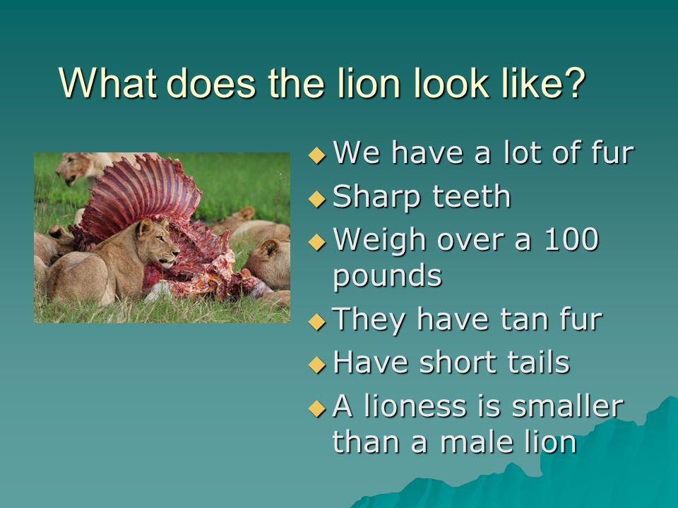 Who eats lions.People eat lions What kills lions.