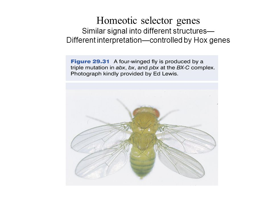 Homeotic selector genes Similar signal into different structures— Different interpretation—controlled by Hox genes