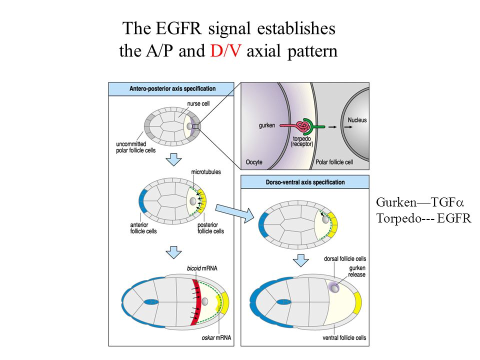 The EGFR signal establishes the A/P and D/V axial pattern Gurken—TGF  Torpedo--- EGFR
