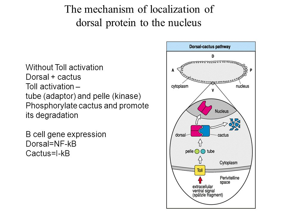 Without Toll activation Dorsal + cactus Toll activation – tube (adaptor) and pelle (kinase) Phosphorylate cactus and promote its degradation B cell gene expression Dorsal=NF-kB Cactus=I-kB The mechanism of localization of dorsal protein to the nucleus