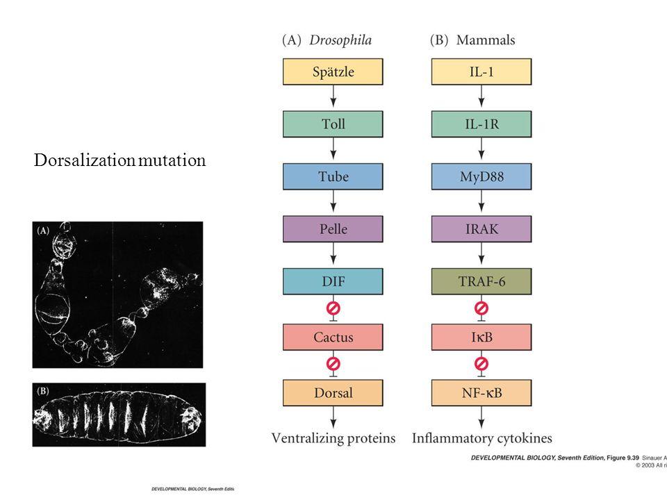 Dorsalization mutation