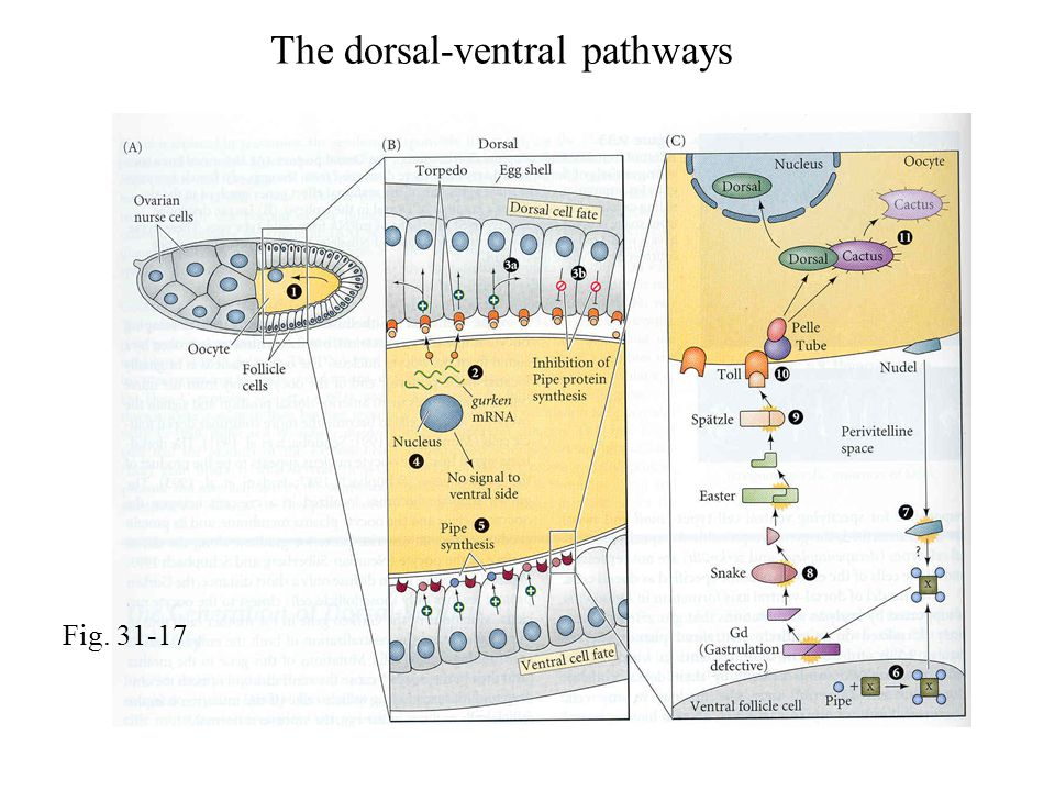 Fig. 31-17 The dorsal-ventral pathways