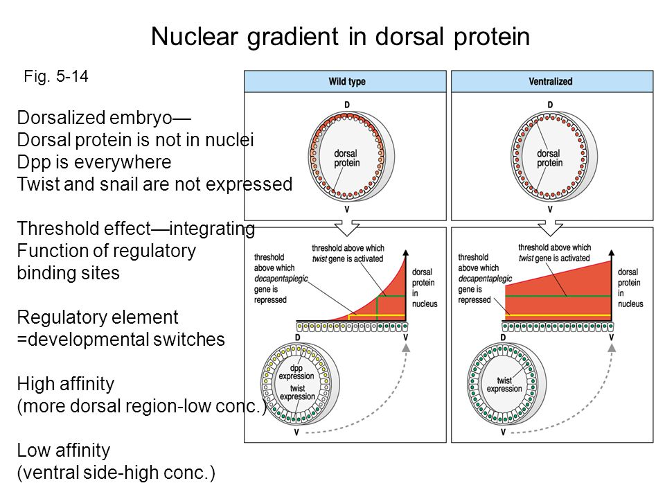Dorsalized embryo— Dorsal protein is not in nuclei Dpp is everywhere Twist and snail are not expressed Threshold effect—integrating Function of regulatory binding sites Regulatory element =developmental switches High affinity (more dorsal region-low conc.) Low affinity (ventral side-high conc.) Nuclear gradient in dorsal protein Fig.