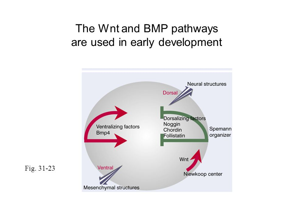 Fig. 31-23 The Wnt and BMP pathways are used in early development