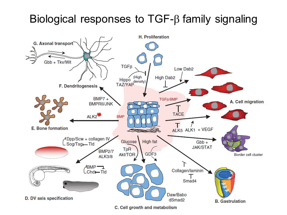Biological responses to TGF-  family signaling