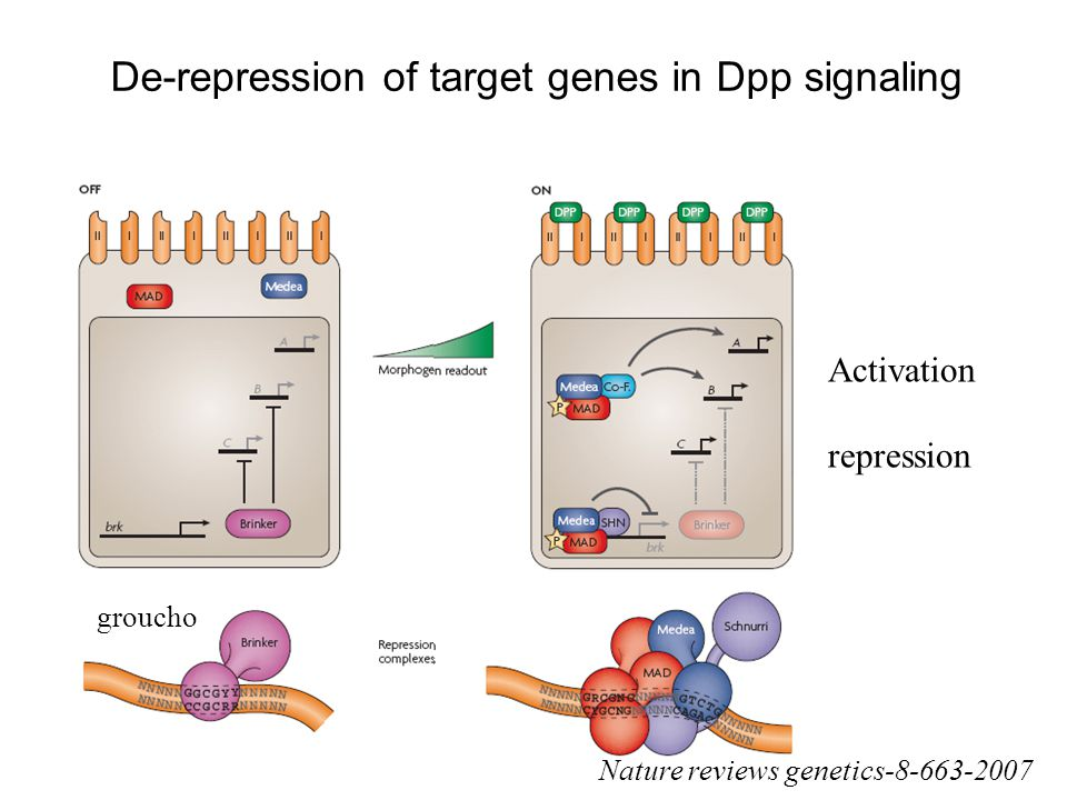 De-repression of target genes in Dpp signaling groucho Nature reviews genetics-8-663-2007 Activation repression