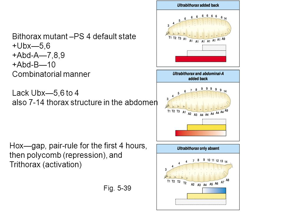 Bithorax mutant –PS 4 default state +Ubx—5,6 +Abd-A—7,8,9 +Abd-B—10 Combinatorial manner Lack Ubx—5,6 to 4 also 7-14 thorax structure in the abdomen Hox—gap, pair-rule for the first 4 hours, then polycomb (repression), and Trithorax (activation) Fig.