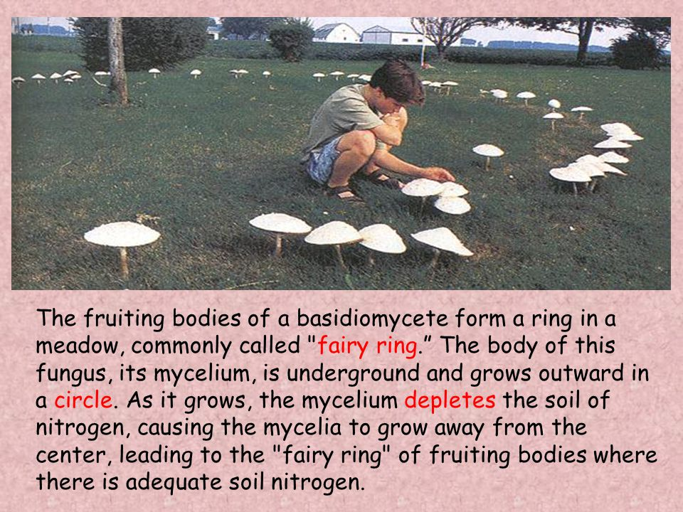 The fruiting bodies of a basidiomycete form a ring in a meadow, commonly called