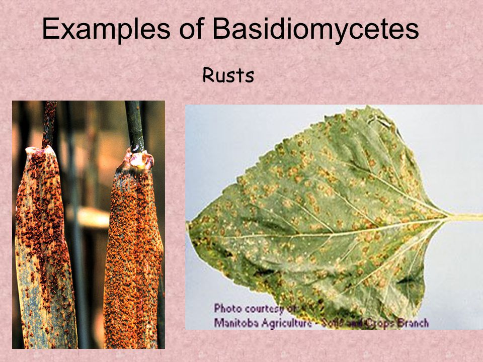 Examples of Basidiomycetes Rusts