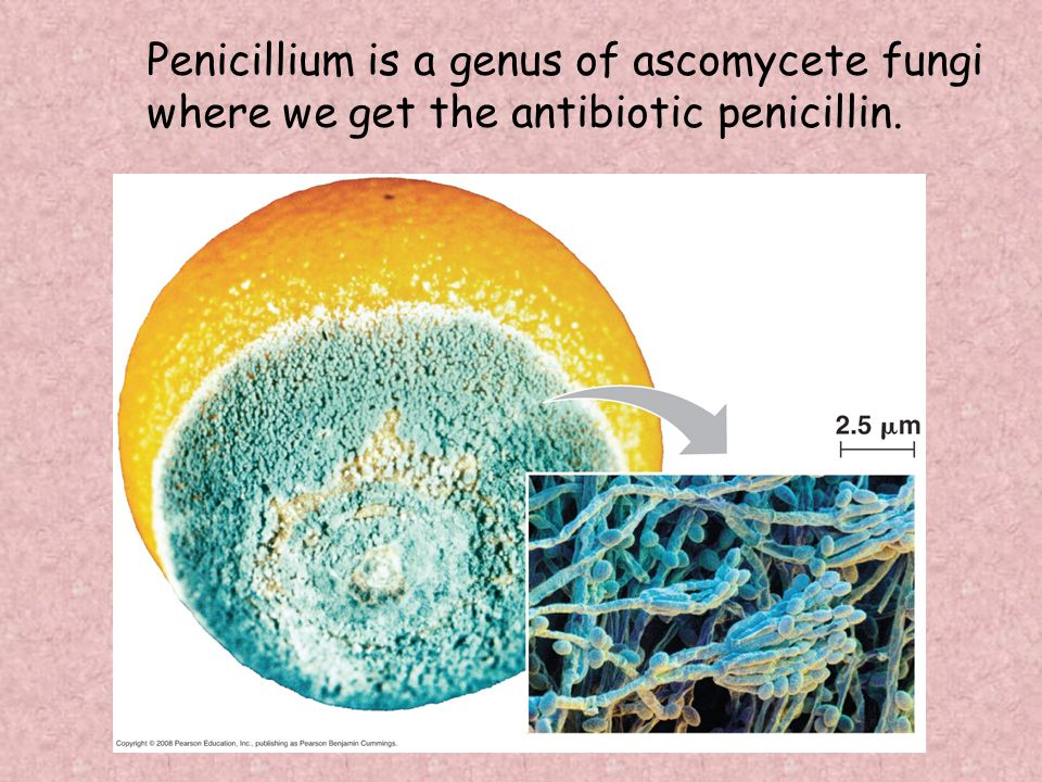 Penicillium is a genus of ascomycete fungi where we get the antibiotic penicillin.