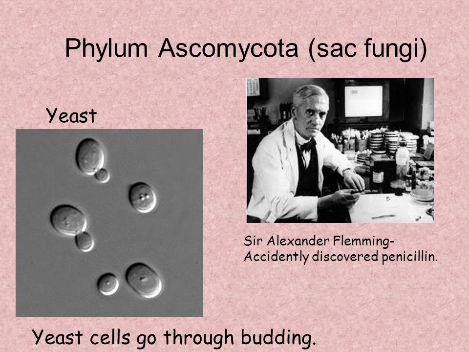 Phylum Ascomycota (sac fungi) Sir Alexander Flemming- Accidently discovered penicillin. Yeast Yeast cells go through budding.