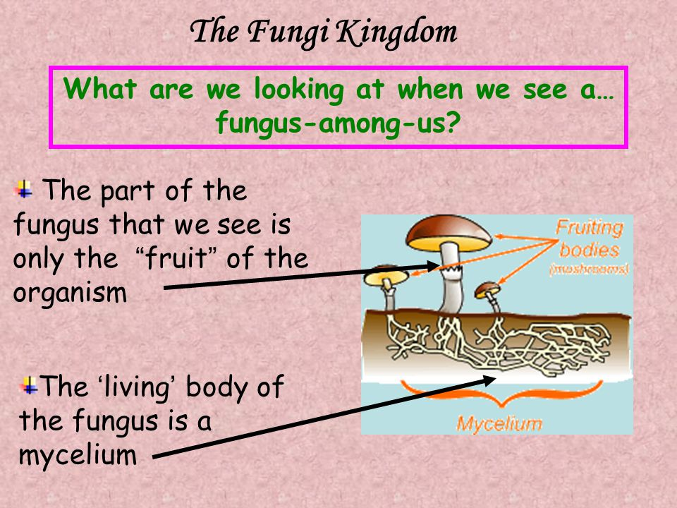 The Fungi Kingdom What are we looking at when we see a… fungus-among-us? The 'living' body of the fungus is a mycelium The part of the fungus that we