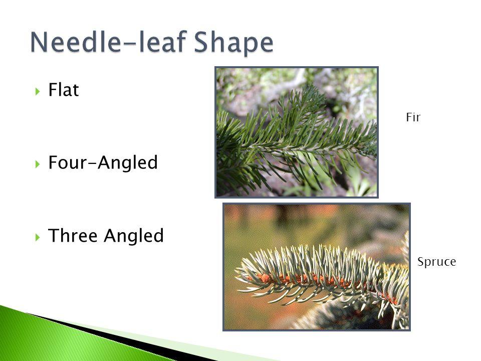  Flat  Four-Angled  Three Angled Fir Spruce