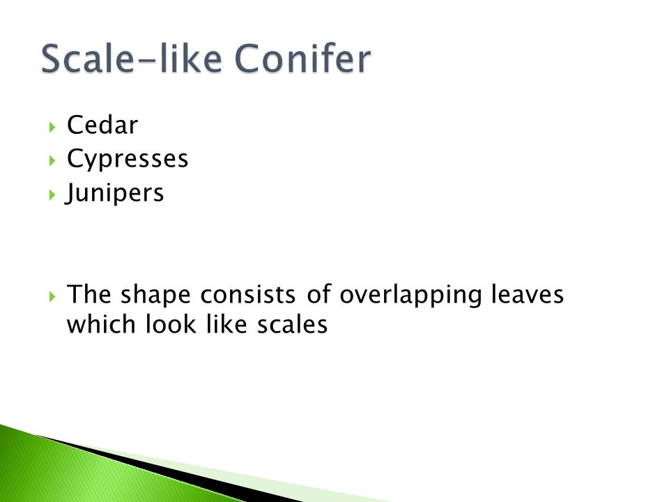  Cedar  Cypresses  Junipers  The shape consists of overlapping leaves which look like scales