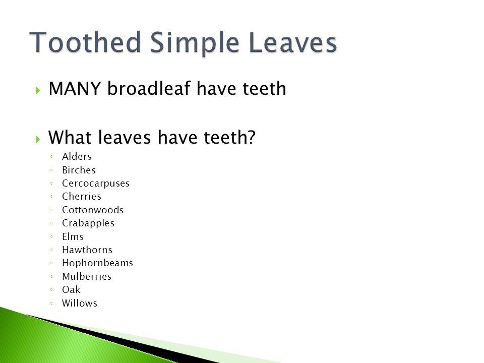  MANY broadleaf have teeth  What leaves have teeth.