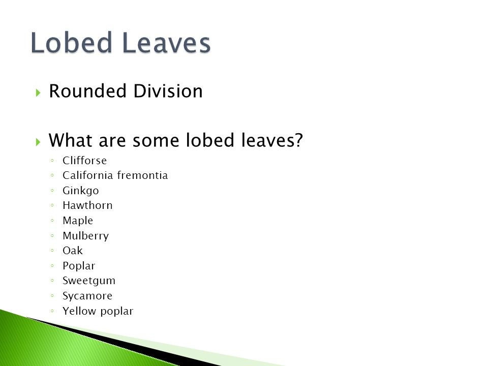  Rounded Division  What are some lobed leaves? ◦ Clifforse ◦ California fremontia ◦ Ginkgo ◦ Hawthorn ◦ Maple ◦ Mulberry ◦ Oak ◦ Poplar ◦ Sweetgum ◦