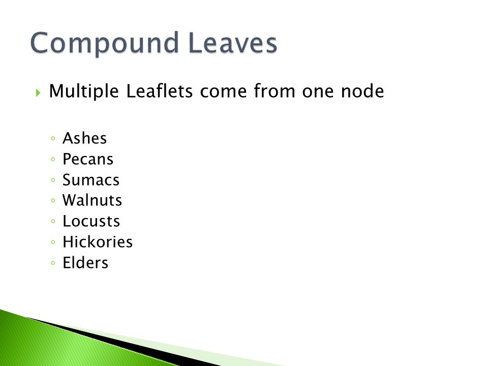  Multiple Leaflets come from one node ◦ Ashes ◦ Pecans ◦ Sumacs ◦ Walnuts ◦ Locusts ◦ Hickories ◦ Elders