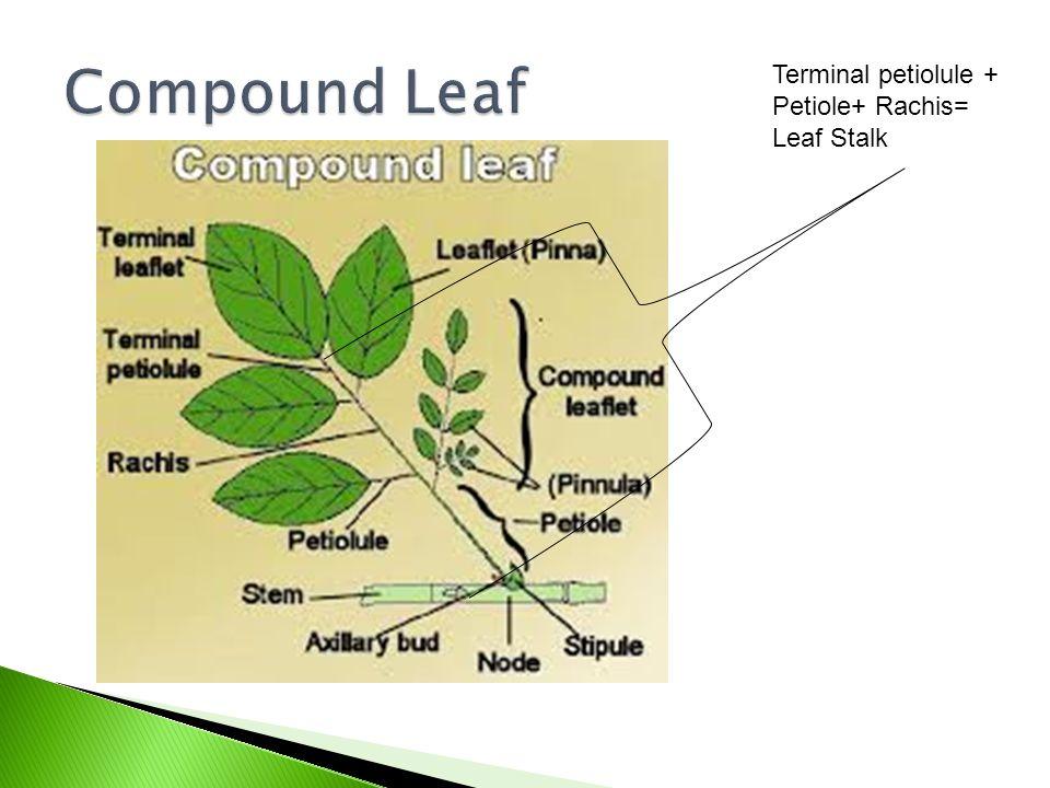 Terminal petiolule + Petiole+ Rachis= Leaf Stalk