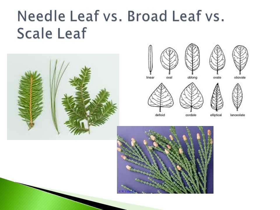  Conifer- grow cones  Deciduous- drop leaves during winter  Evergreen- stay green all year Which of these two are opposites???