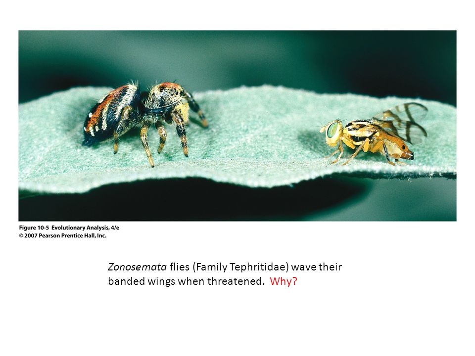Zonosemata flies (Family Tephritidae) wave their banded wings when threatened. Why