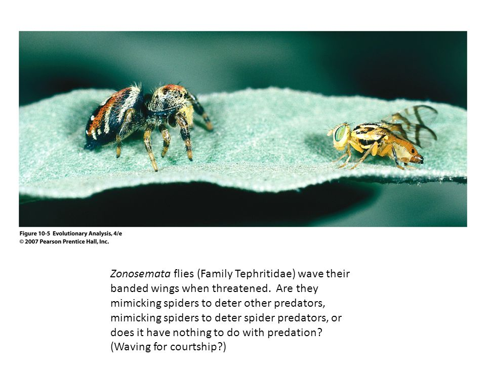 Zonosemata flies (Family Tephritidae) wave their banded wings when threatened.