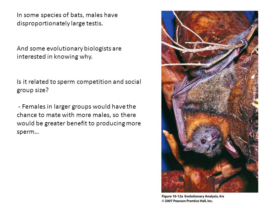 In some species of bats, males have disproportionately large testis.