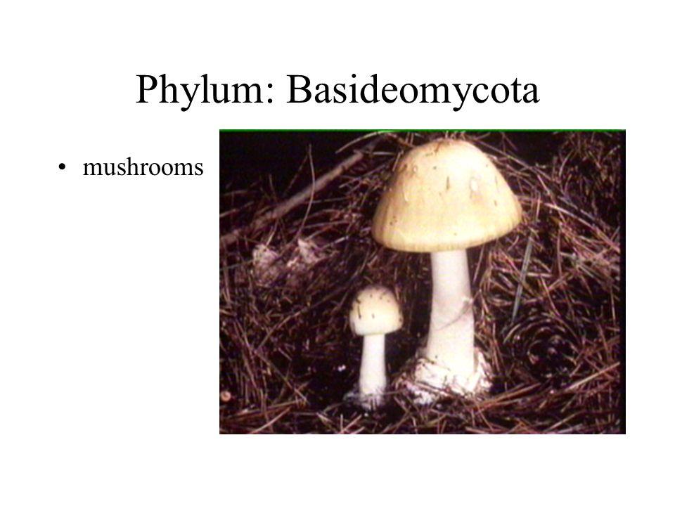 Phylum: Basideomycota mushrooms