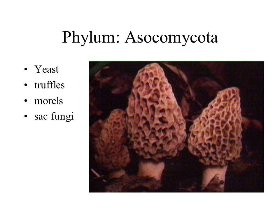 Phylum: Asocomycota Yeast truffles morels sac fungi