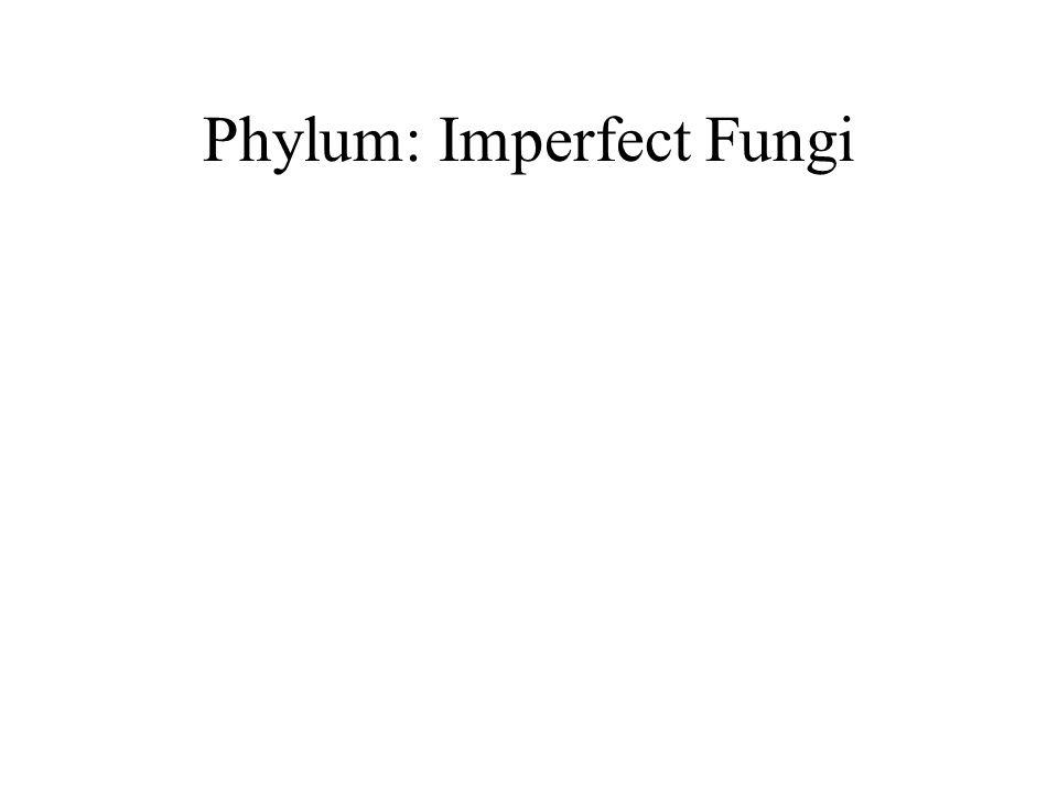 Phylum: Imperfect Fungi