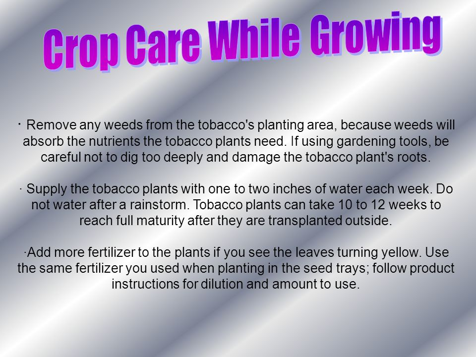 · Remove any weeds from the tobacco s planting area, because weeds will absorb the nutrients the tobacco plants need.