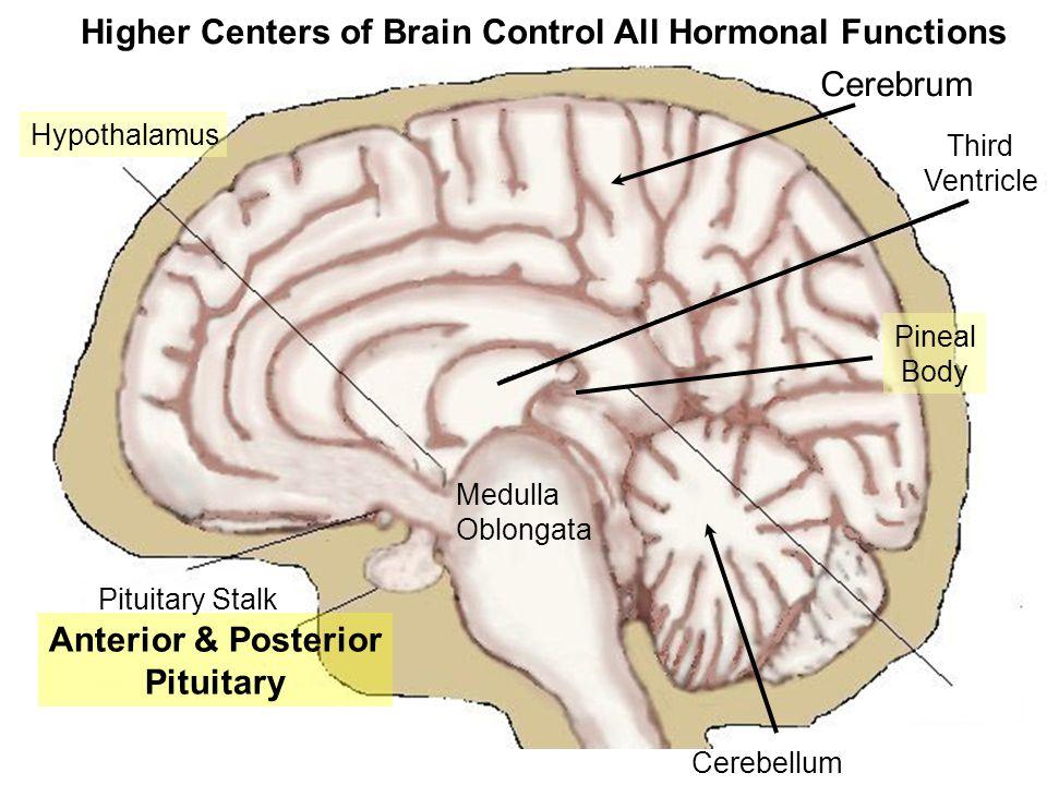 Anatomy of Cow Brain Spenoid Bone Pituitary Diaphragma sellae Infundibular Stalk
