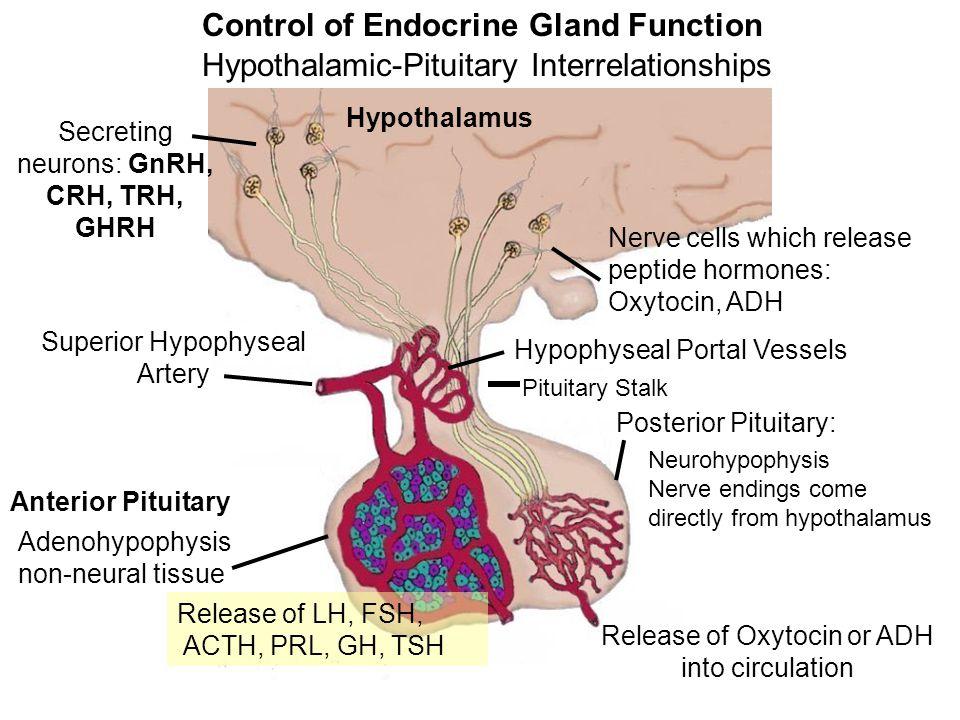 Endocrine Glands and Hormones Secrete biologically active molecules into the blood.