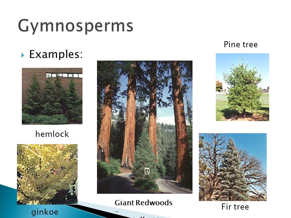  Examples: Giant Redwoods - the tallest trees Fir tree Pine tree ginkoe hemlock