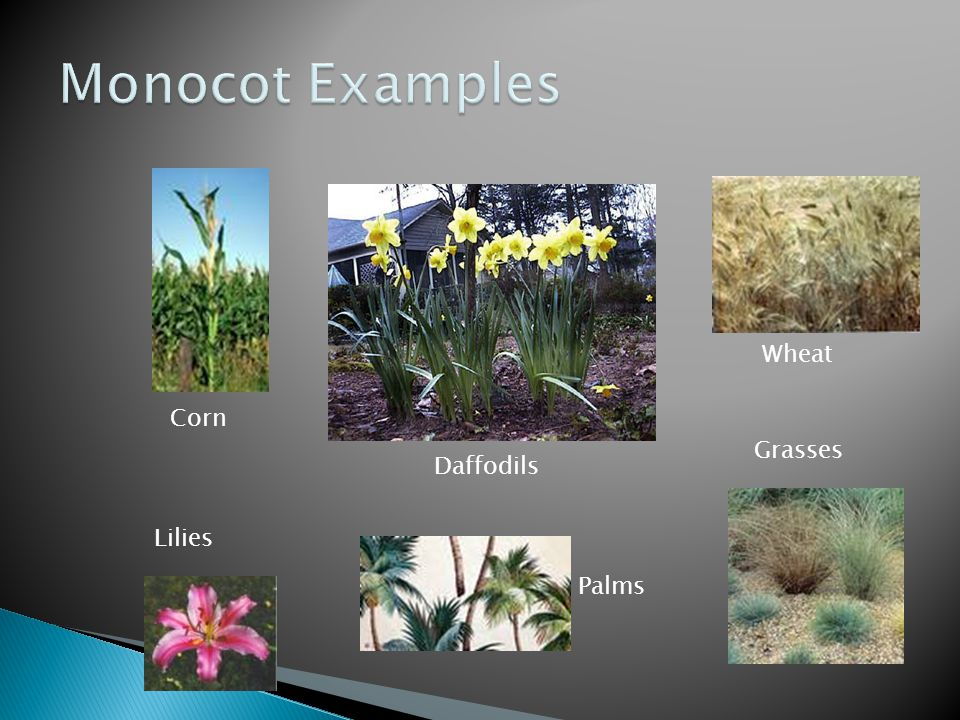Corn Palms Lilies Daffodils Wheat Grasses