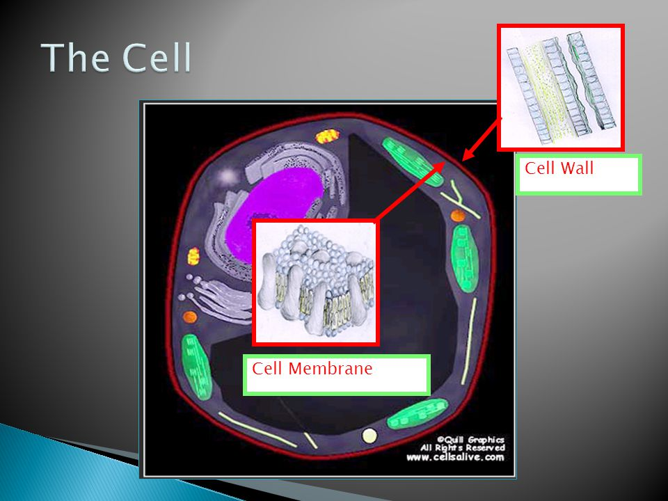 Cell Membrane Cell Wall