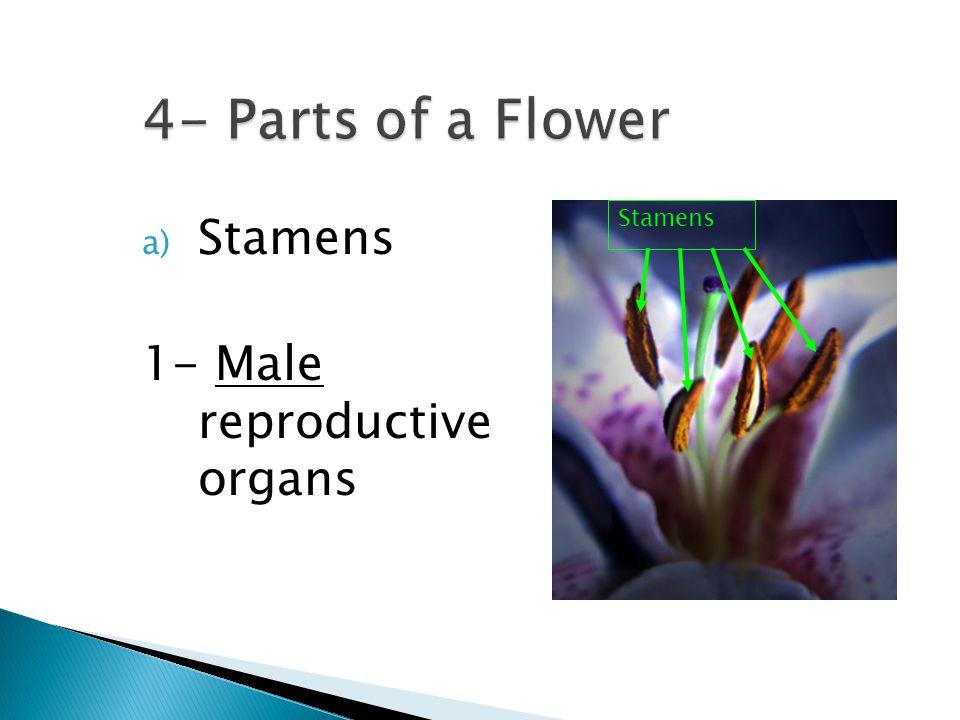 a) Stamens 1- Male reproductive organs Stamens