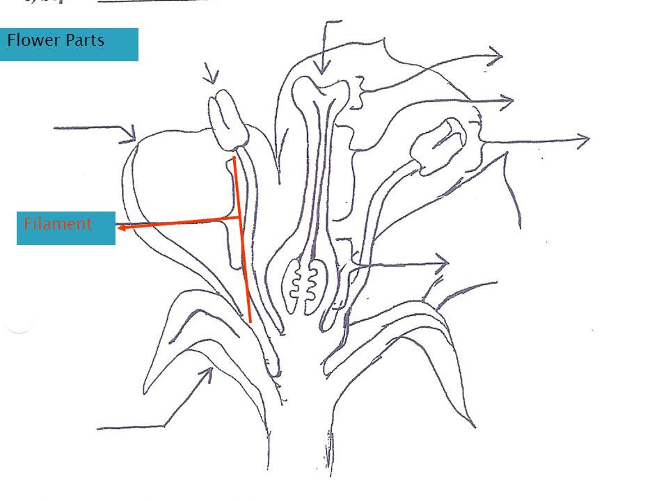 Flower Parts Filament
