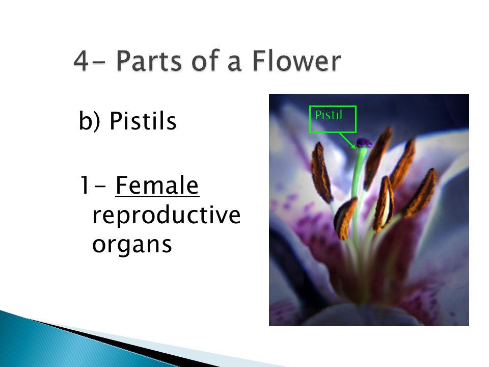 b) Pistils 1- Female reproductive organs Pistil