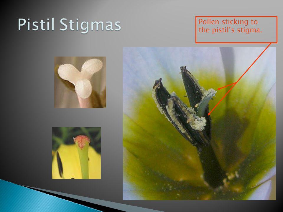 Pollen sticking to the pistil's stigma.