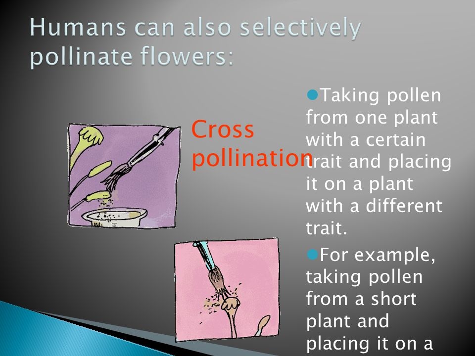 Taking pollen from one plant with a certain trait and placing it on a plant with a different trait.