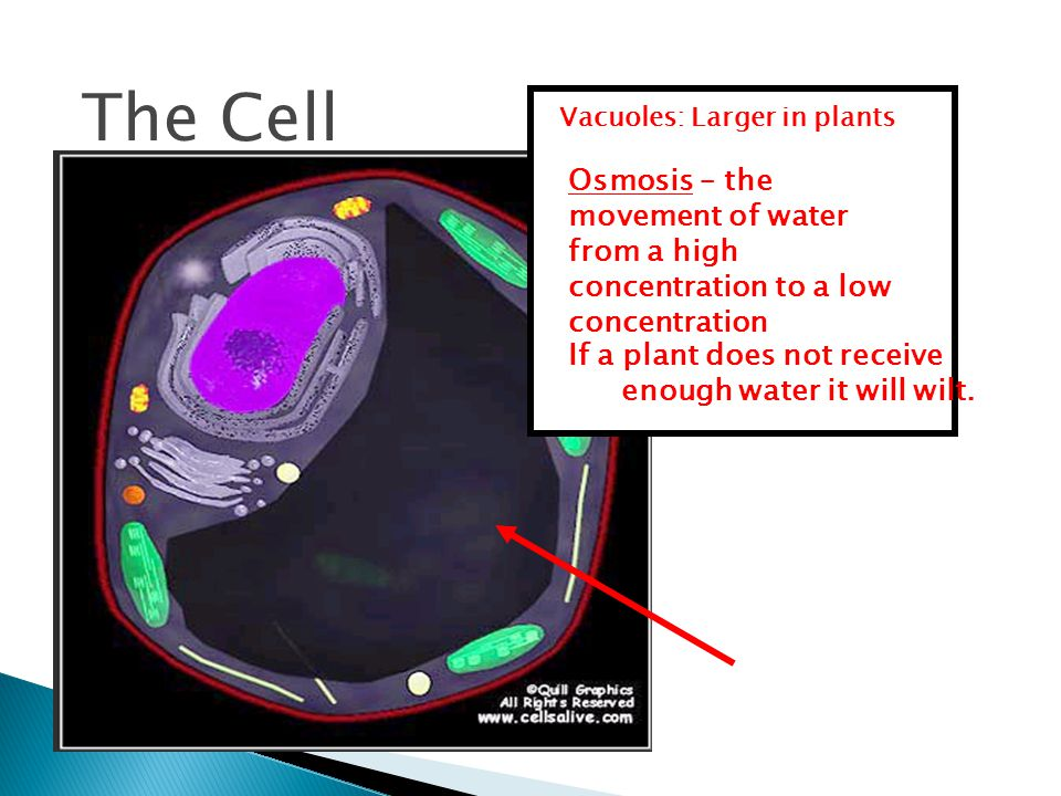The Cell Vacuoles: Larger in plants If a plant does not receive enough water it will wilt.